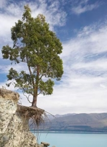 Eucalyptus Tree with eroded roots on an Morgans Island in Lake Pukaki, Mackenzie Country, South Island, New Zealand